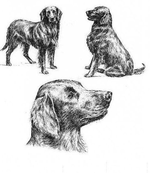 Flat Coated Retriever - 1963 Vintage Dog Print - Matted *
