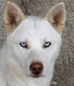 "Young Female Dog - Siberian Husky: ""Alaska"""