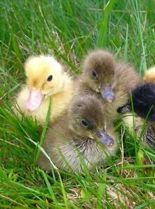 Ducklings for Sale