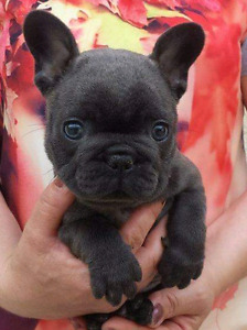 ❤Blue and black French bulldog puppies❤