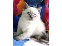 Purebred BSH colourpoint kittens