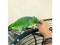 Missing Orange Amazon Parrot
