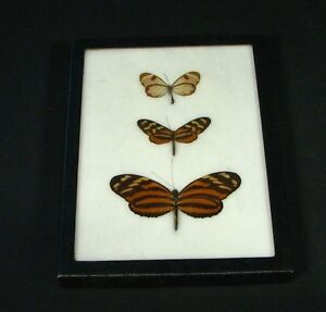 Carolina-Entomount-Mounted-Butterfly-Entomology-Taxidermy-Mullerian-Mimicry