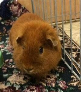 "Young Female Small & Furry - Guinea Pig: ""Nectarine"""