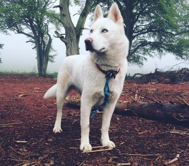 pure white siberian husky female with ice blue eyes 2