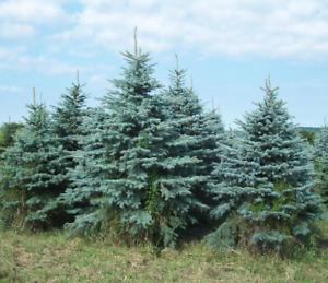 KAWARTHA CEDAR TREES, COLORADO BLUE SPRUCE, CHRISTMAS TREES.
