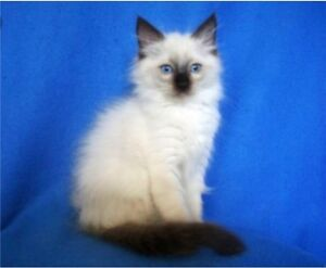 looking for female purebred ragdoll