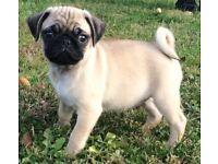 Kc registered pug boy puppy