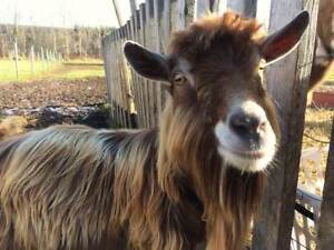 Goat - Proven 3-Year-Old Toggenburg Buck