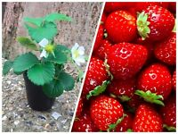 Cherry tomato, Strawberry and Foxglove plants
