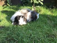 Guinea Pigs - 2 x Male Long Haired