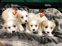 Adorable Cavachon Puppies- one male and one female left