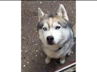 Lovely neutered husky for sale