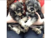 Miniature Schnauzer Puppies For Sale-KC Reg
