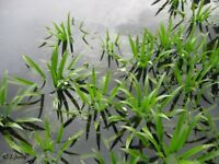 Pond Plants, Water Soldier (Stratiotes Aloides), a floating plant
