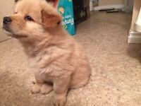 cute chowchow puppy for sale