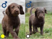 Labradoodle Puppies - Ready NOW!