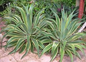 Agave plants Smithfield Cairns City Preview