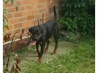Female kc reg rottweiler 2.5yrs