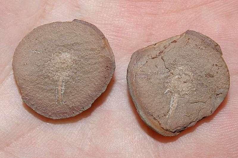RARE Carboniferous Crustacean - Essoidia sp