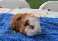 Cavy, adult & baby Guinea Pigs
