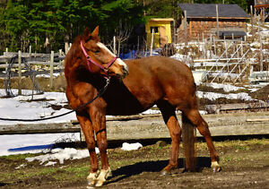 9 Year Old Hanoverian/Thoroughbred Mare