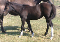 2015 APHA minimal tobiano smoky black filly