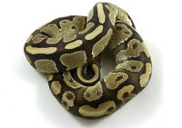 Breeder ball pythons and juviniles