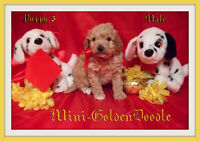 Mini-Golden PyreDoodle F1b Puppies