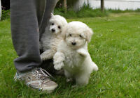 TOY POODLE PUPPIES  CKC REG. (READY TO GO)