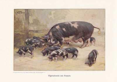 Tigerschwein mit Ferkeln Farbdruck von 1925 Reprint