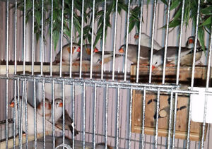 6 Adult Zebra Finches - Male & Female London Ontario image 6