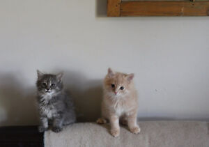 8 Week Old LONG HAIRED X Kittens - M & F