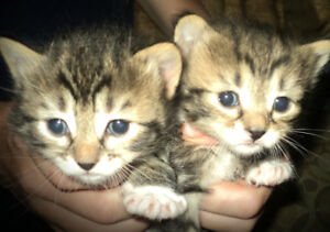 Bengal X Kittens For Sale