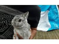 Grey male Rabbit & Hutch