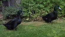 2 Black Cayuga Ducks for Sale Seaford Frankston Area Preview