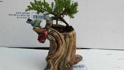 Outdoor Bonsai Tree - Bonsai Live Tree Plant Potted in a Bird Ceramic 5'' Pot Indoor Outdoor