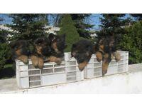 550£ German Shepherds