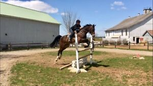 Jumper/Eventer Gelding For Lease