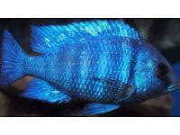 Malawi cichlids and tanganikian cichlids for sale tropical fish aquarium