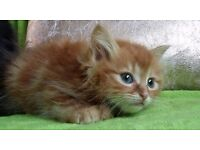 MAINECOON KITTENS FOR SALE