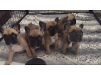 Top Quality French Bulldog Puppies For Sale Ready Now