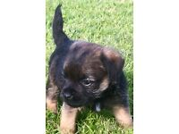 Beautiful Border Terrier KC Pups For Sale