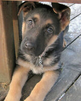 3 month german shepherd male $300