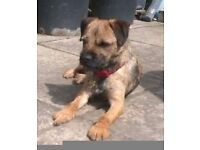 Border Terrier KC reg