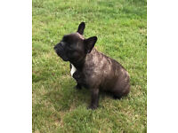 French Bulldog - Adult Female, KC Reg, Health tested, great with other pets and kids.