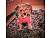 1 Year old Yorkshire Terrier (Toby)