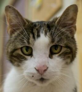 "Senior Male Cat - Tabby: ""Hatch"""