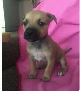 "Baby Female Dog - Boxer: ""Scarlett"""