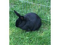 Male black and white rabbit